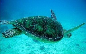 swimming-turtle-3