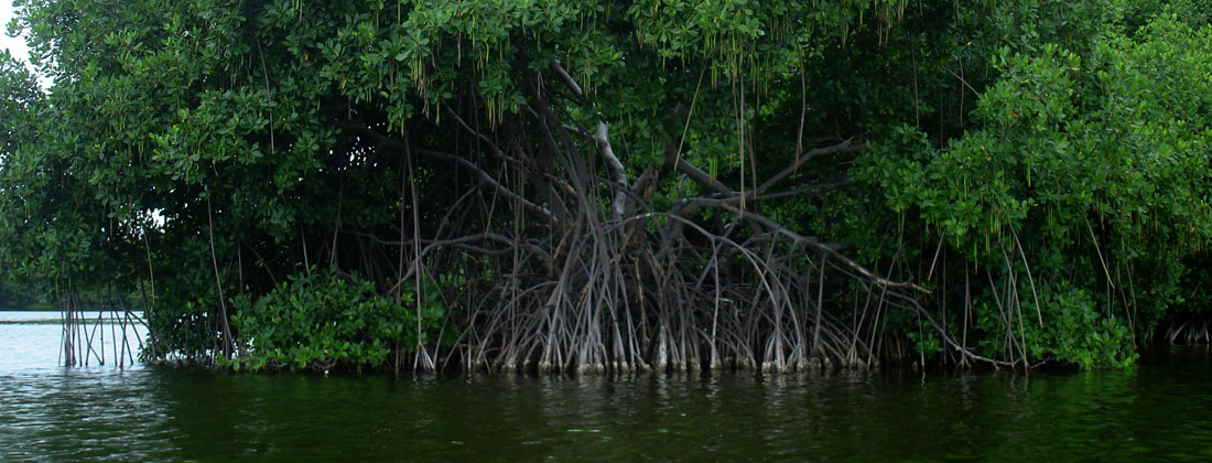 Red-Mangrove-tree